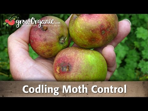 Codling moth -- How to keep the worms away organically