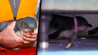 No Reservations: 2 Penguins Wander Into New Zealand Bar