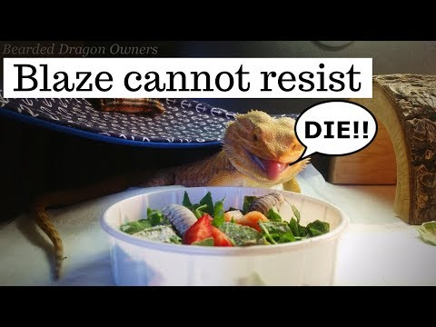 Bearded Dragon Owners // Blaze Cannot Resist Dubia Roaches.