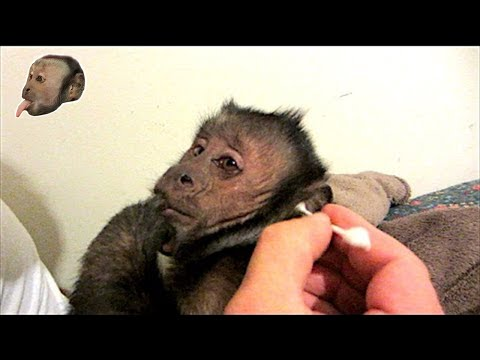 Capuchin Monkey Q-Tip Ear Cleaning