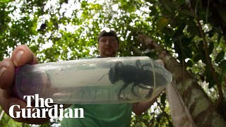 World's largest bee rediscovered in Indonesia