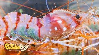 Download Dokdo Dohwa Shrimp / Dokdo Kkotsaeu, Busan Korea / Korean Street Food / 독도 도화새우 / 부산 부평동 독도꽃새우 Video