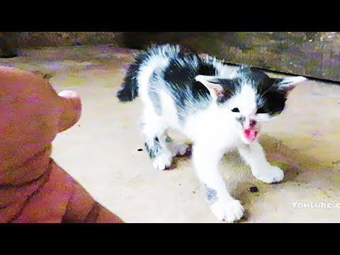 Scared hissing kitten introduced to human by mother cat