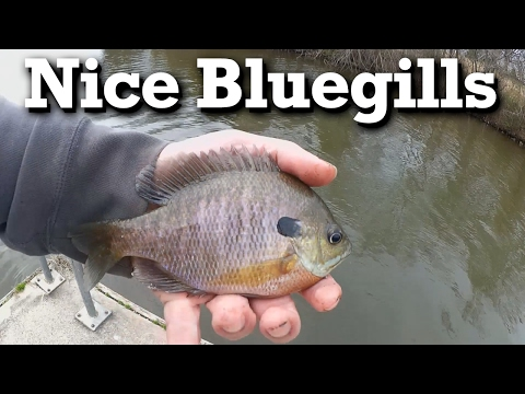 Finding a New Place to Catch Big Winter Bluegills - Drop Fly Panfish