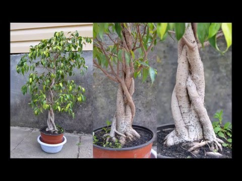 Braided Ficus benjamina