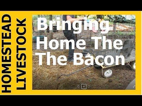 HOMESTEAD LIVESTOCK - Bringing Home The Bacon, A New Piglet