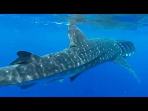 Swimming with Whale Sharks in Cancun September 2014 GoPro Hero3+