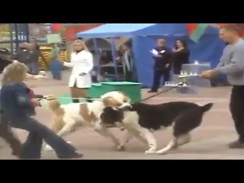 Alabai Dog Attacks another Alabai Dog!!!