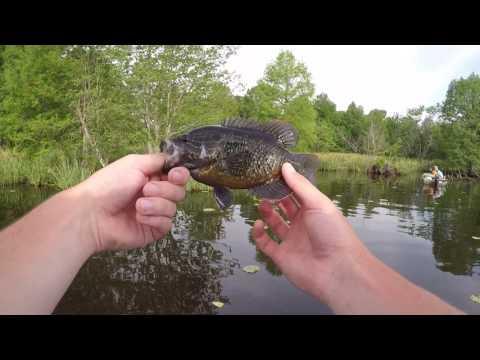 Reelfoot Lake Bluegill Fishing (My Biggest Bluegill Ever!)