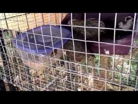 My quail cage,