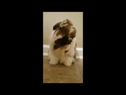 Cute Bunny Cleaning His Ears - Fetty Hop