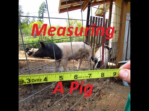 How to determine a live pigs weight with a measuring tape