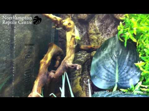 Standing's geckos (Phelsuma standingi) in their terrarium at Northampton Reptile Centre