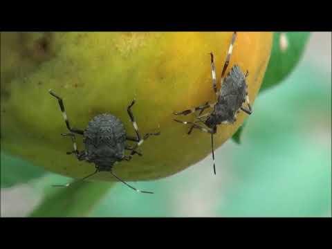 Stink bug nymphs feeding on tomato