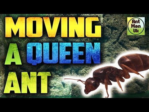Moving A Queen Ant | Lasius Flavus Ant Colony