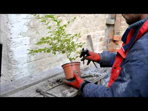 Kininis ligustras - Ligustrum sinensis 2