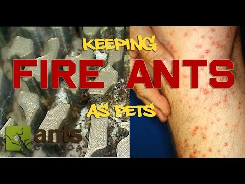 How to Keep Fire Ants As Pets
