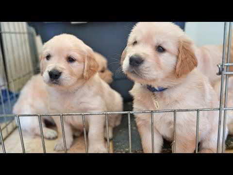 Cutest Golden Retriever Puppy Litter (5 Weeks Old) ❤️