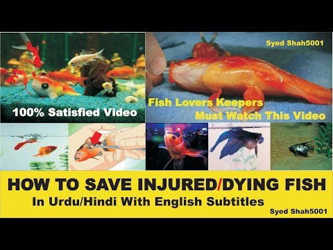 How to save Injured or Dying fish complete info & guide in Urdu/Hindi with English Subtitles.