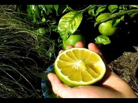 Fruiting Grapefruit Tree - Problems & Solutions