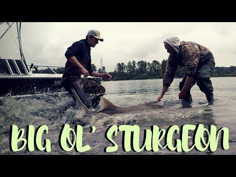 Sturgeon Fishing On The Fraser River!  We Hooked 'Em!