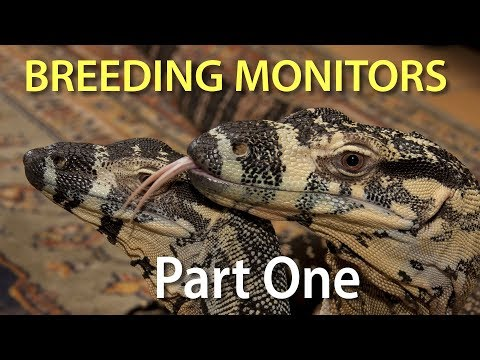 Breeding monitor lizards in captivity Part One:  Introduction to the series