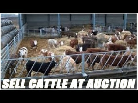 How To Sell Your Cattle At An Auction