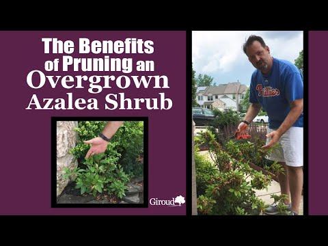 How to Prune an Overgrown Azalea Shrub