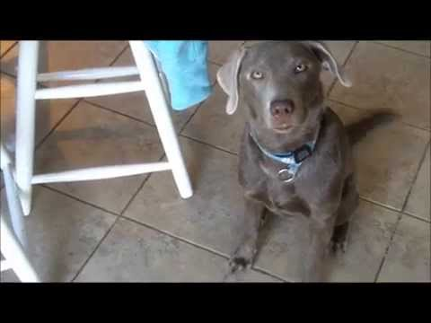 Keep your Puppy or Dog Busy for 20 minutes to an Hour, a cheap fun game (Hide & Find) (Silver Lab)