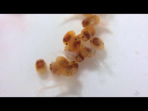 Crystal Red Shrimp Eggs 🦐 Marks Shrimp Tanks 🦐