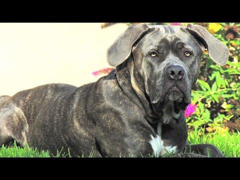 Italian Mastiff: Impulsive Dogs