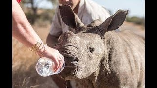 This Baby Rhino Was In A Fight For Life After Its Mother Was Killed By Poachers