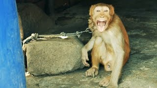 Cruelty on Monkey.Monkey Abuse.Chained Monkey frustrated and loose his mind.Animal Abuse