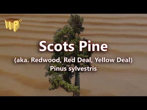 Scots Pine (pinus sylvestris) - Mitch's World of Woods