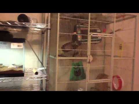 Sugar glider barking twice