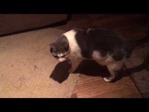 Cole Reverse Sneeze or Asthma? (Cat)