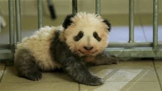 First French-born giant panda cub takes his first steps