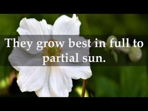 How to Grow Anemone Plants at Home