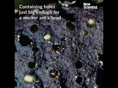 Ants' gruesome trap