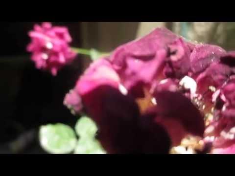 Spider Mites on Roses