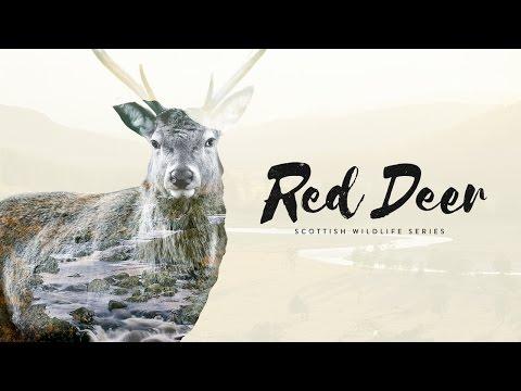 Scottish Wildlife Series: Red Deer