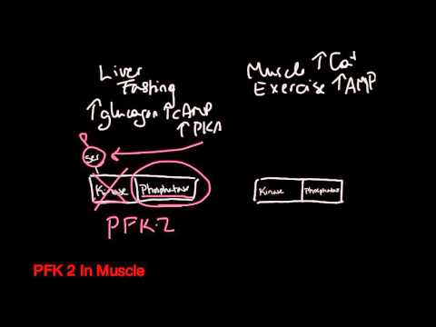PFK 2: Liver vs Muscle