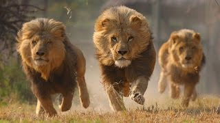 Animal Video National Geographic   KILLER LEGACY Full Lions Documentary 1