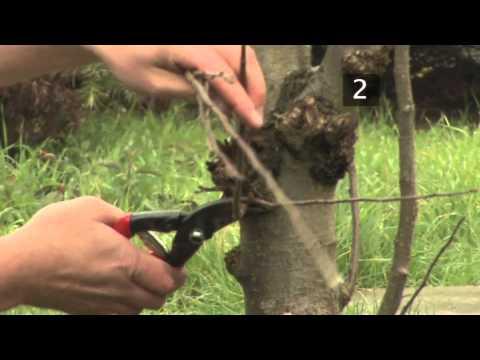 How to prune an apple tree | Garden Goals | Homebase