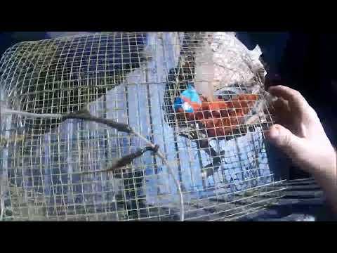 Catching Crawfish With Riverdog