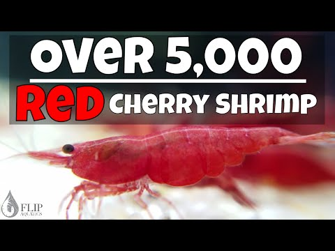 Red Cherry Shrimp Breeding - Thousands of Babies