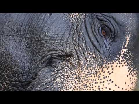 Asian Elephants and Their Loss of Habitat