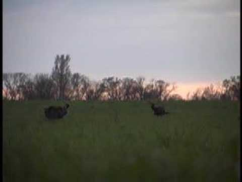 Supreme Turkey Calls Oklahoma
