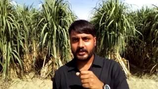 Sugarcane farming to take yield