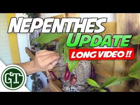 Nepenthes Update   Carnivoria.eu plants, Winter is Comming!! - Nep Vlog 4